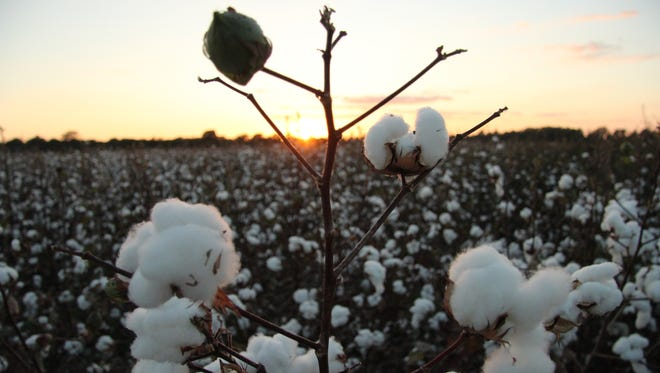 Cotton growing on Myrtle Grove Plantation, near Waterproof, Louisiana, in Tensas Parish.
