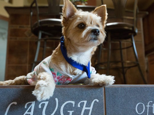 "Mango, a  five-year-old yorkie-Cairn mix, who was paralyzed by what owner Judy Walter thinks was being hit by a car, before Mango was adpoted. Mango was awarded the Hero Dog Award by the American Humane Association. pictured here at her home Tuesday, October 25, 2016. With help from donors ""Mango's Freedom Wheels"" has helped purchased over 150 custom built wheelchairs for other animals that need mobilty assistance."