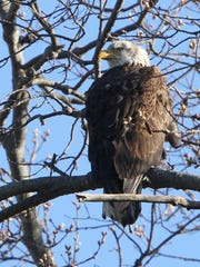 One of the pair of nesting Bald Eagles are shown next