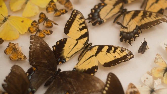 Butterflies in Jeurel Singleton's collection
