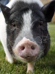 -041914-WIL 0422 Delaware Pets Pot-bellied pigs-wb 15709.JPG_20140419.jpg