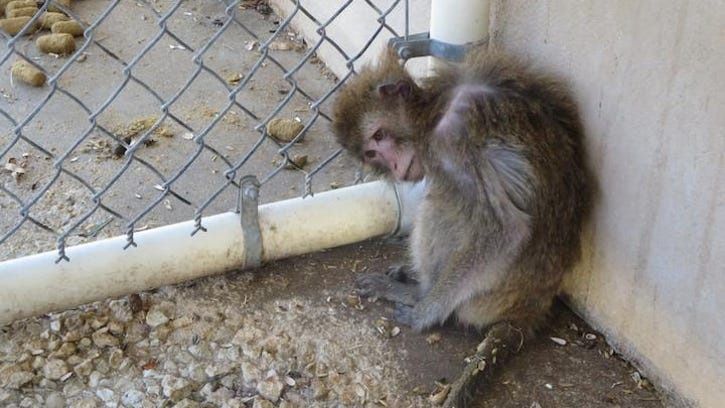 "According to PETA, this monkey at Primate Products was ""chronically sick."