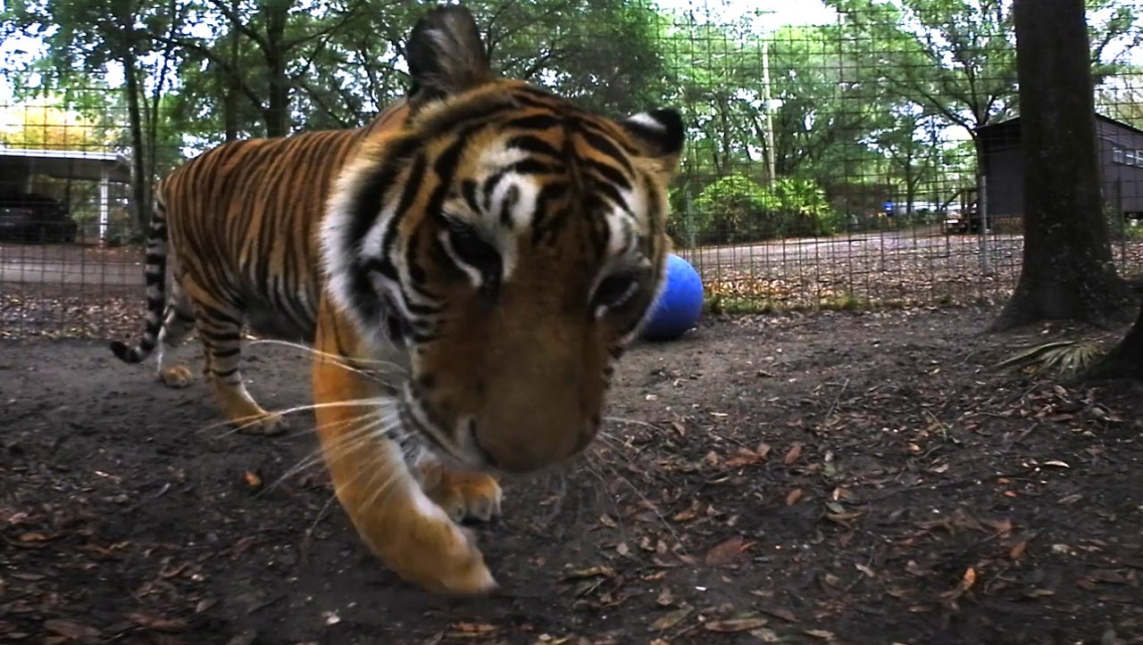 VR: See a daring dentist help a tiger with a toothache