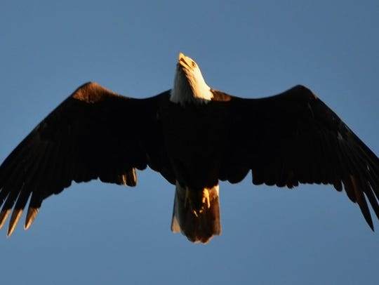 With luck, you may spot a bald eagle while watching
