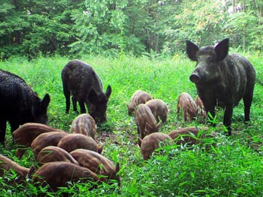 Feral swine are descendants of escaped or released pigs.  They compete with native wildlife for food, habitat, and water.