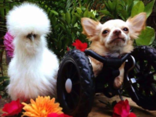 chihuahua chicken friends