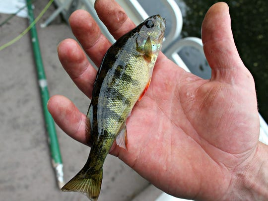 A tiny perch. Too bad he wasn't a little bigger. They're good eatin'.