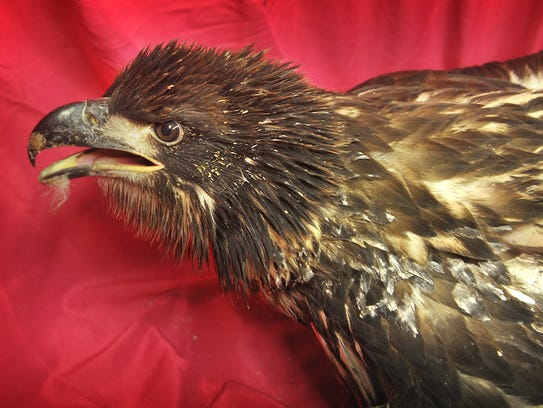 This is one of two 4-month-old bald eagles  recuperating