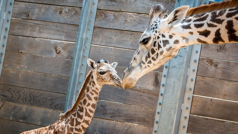 The Houston Zoo is showing off a precious baby giraffe born Sunday, August 3. Mama Neema delivered the healthy girl calf after a 14-month pregnancy. The baby weighs 132 pounds and is six feet tall. She is the 10th Masai giraffe to join the herd at the Houston Zoo.