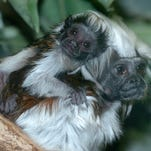 These baby cotton top tamarin born on March 15, 2007.