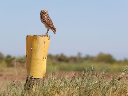 636644935484299082-salton-sea-owl.jpg