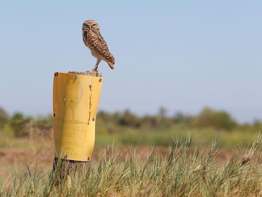 A burrowing owl at the Salton Sea, June 11, 2018.