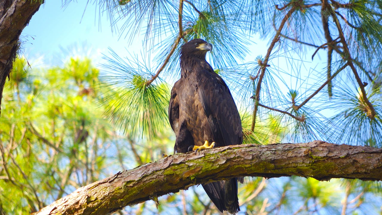 Watch bald eagle released after CROW rehabilitation