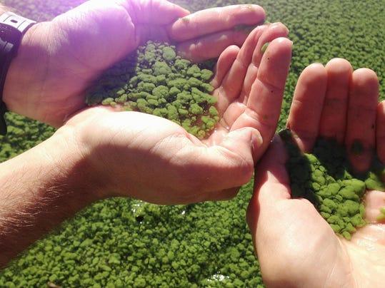 BUR20150602 Blue-green algae Missisquoi Bay2