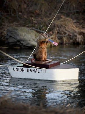 Uni the groundhog makes his way down Tulpehocken Creek on Friday morning. Uni saw his shadow, predicting 6 more weeks of winter.