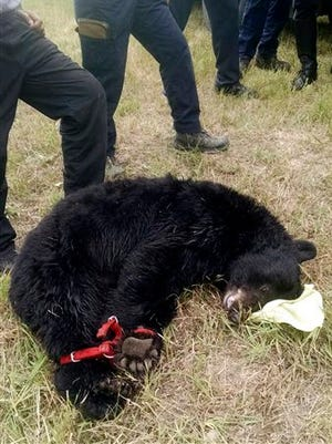 A female black bear is tied next to emergency personnel after being tranquilized in a residential area of Arvada, Colo.