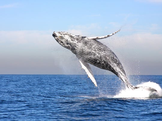 A whale leaps from the water in this 2010 photo.