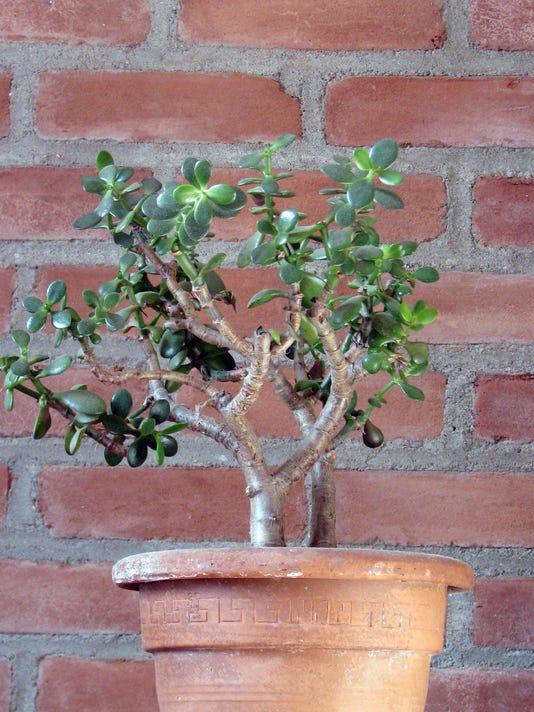 Gardening-Jade Plant (2)