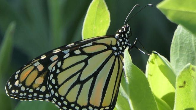 A monarch butterfly lays eggs in milkweed in the pollinator garden at the Kansas State Fair during the Pollinator Party on June 23.