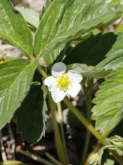 A strawberry blossom at Wilfert Farms in Two Rivers.