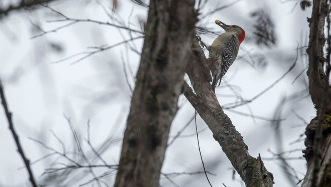 A Red-Bellied Woodpecker finds nuts within a tree inside the Dutro-Ernst Woods which is a 33 acre urban nature preserve on the site of the former Ernst Nursery. Owned by the Red-tail Land Conservancy, it is just some of 2600 acres of natural areas and farm land protected by the group in east central Indiana.