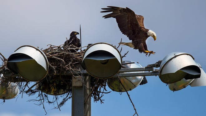 A bald eagle lands atop its new nest as it prepares to feed its eaglets Wednesday, afternoon in Cape Coral, May 23, 2018.