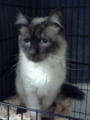 Augustus is a 2 year old handsome male Seal point Siamese.  He is friendly,  likes to be held, affectionate and mellow.  Augustus will need a quiet home as he is easily startled. He likes one on one time and enjoys sleeping with his person(s).  He seems to prefer older people so we are recommending an adult only home or a home with older respectful children.  He may be shy at first, but will warm up when he feels safe.  He will also be fine with a calm dog.  For more information visit www.sfof.org or call 503-362-5611.