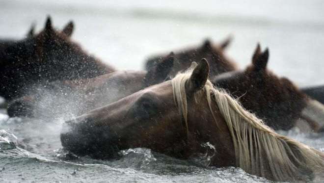 A Chincoteague Pony snorts water as the herd swims across Assateague Channel in a heavy downpour on Wednesday, July 24, 2013 during the 88th Annual Chincoteague Pony Swim.