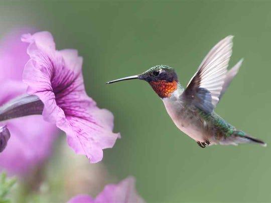 A Hummingbird Seeking Nectar