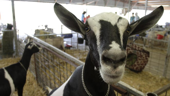 """Livestock competitions are up 40 percent this year, says fair general manager Aaron Owen, noting, """"I think a lot of them haven't been able to show at their county fairs."""""""