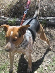 This heeler-mix is male and one year old. He was left in outside lock up. He is friendly, seems to get along with people and needs room to run and play. For more information about adopting a Pet of the Week or other furry friends visit Alamogordo Animal Control, 2910 N. Florida Avenue, Monday through Saturday between noon and 5 p.m. or contact them at 439-4330.