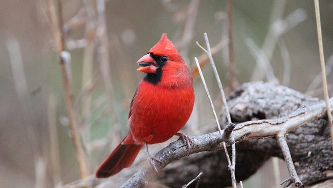 Ken Shaull of North Liberty used his long lens to capture this cardinal munching on a berry at F.W. Kent Park in 2016.