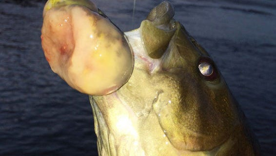 A Susquehanna River smallmouth bass is shown with a cancerous tumor. The local fish is struggling to survive.
