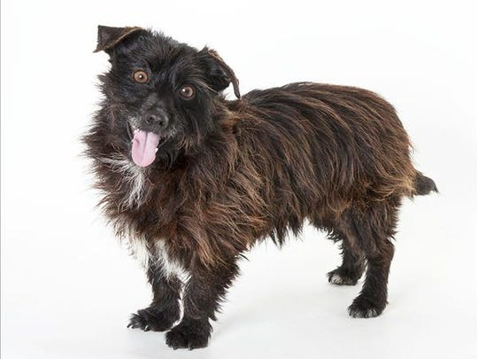 Odie, 5-year-old male terrier mix dog. No. 99086.
