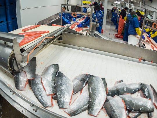 Bristol Bay Sockeye fillets getting ready for the freezer.