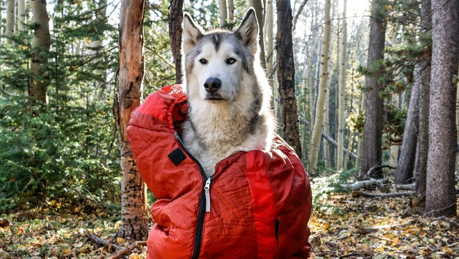 Loki is a wolfdog — a mixture of a husky, wolf and malamute.