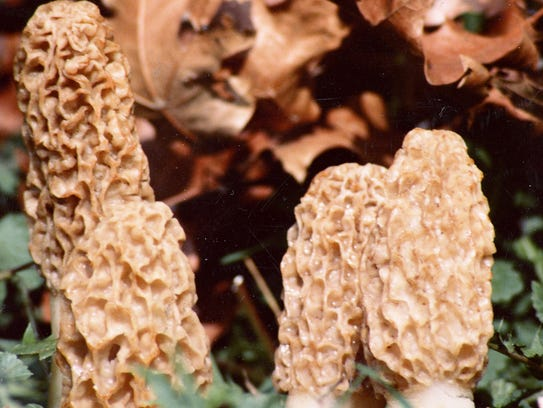 April is the best month for finding tasty morel mushrooms.