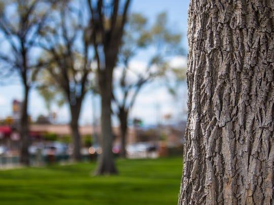 Ash trees line Main Street Park in Cedar City, April 14, 2016.