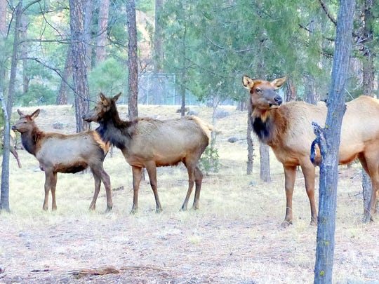 Just a few yards from midtown, three elk cows meander down to the Rio Ruidoso for a drink of water.
