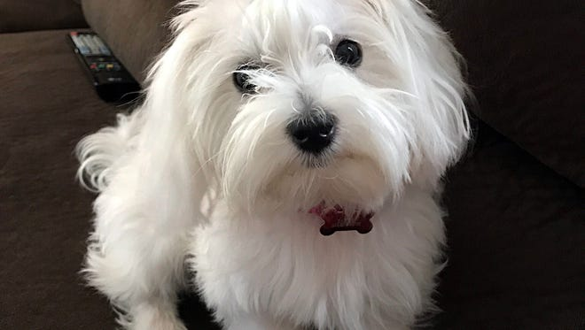 CeCe, an 8-month-old Maltese from Hanover.