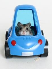 Moana, the robo hamster, cruising for a new home.