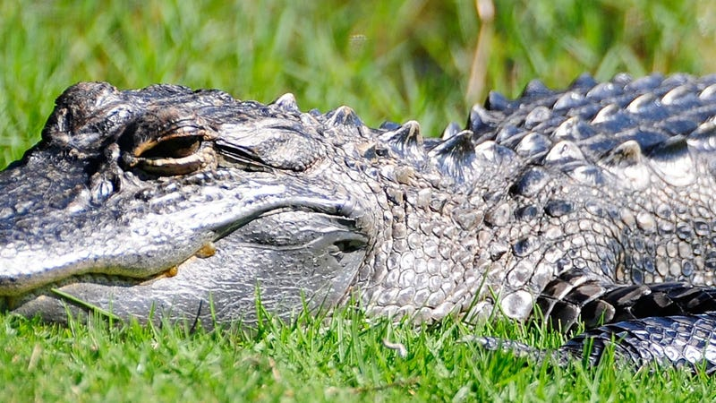 Florida man escapes alligator by punching it in the face