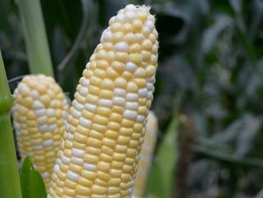 636519590388080812-2018-corn-sweet-american-dream.jpg