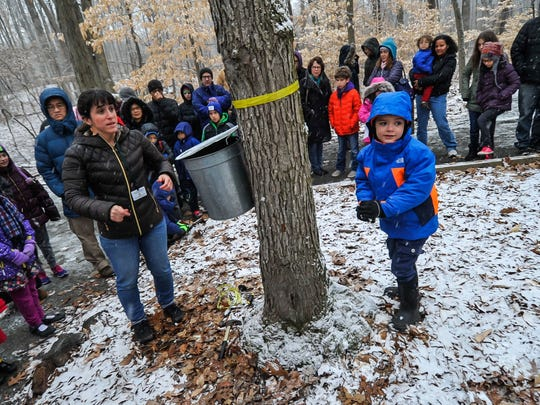 A child helps a naturalist prepare a maple tree for