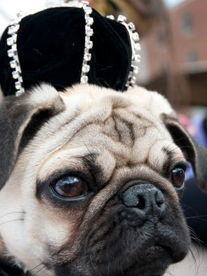 The Krewe des Chiens parade rolled through the streets of downtown Lafayette on Saturday, Jan. 30, 2016.