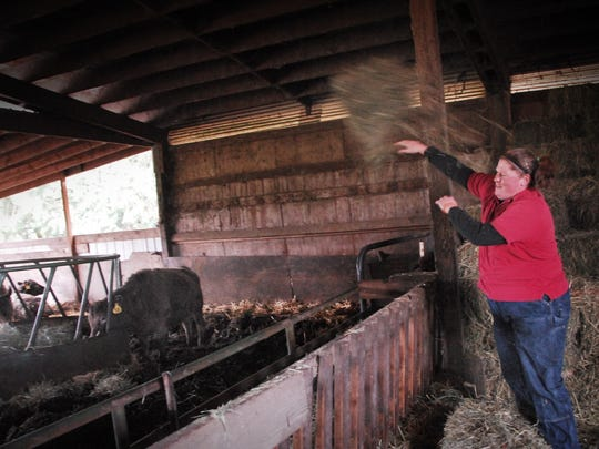 Kathy Hadley tosses a portion of a bale of alfalfa hay to some of the 30 head of cattle at her parents' farm in Rickreall.