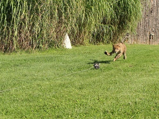 Donni the cheetah during his first time chasing a lure