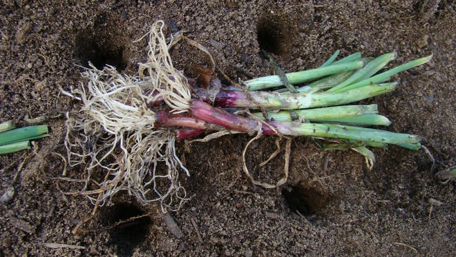 Peas and onions prefer well-drained soil rich with organic matter. Space onions with room to grow.