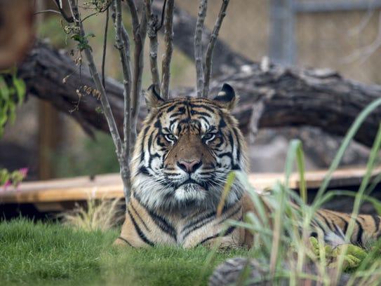 Jai, the Phoenix Zoo's 11 year-old male tiger, November
