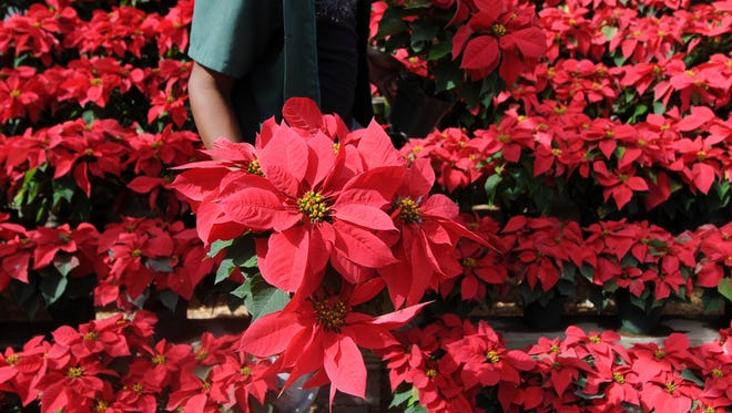 A poinsettia like this apparently was the cause of a home fire.